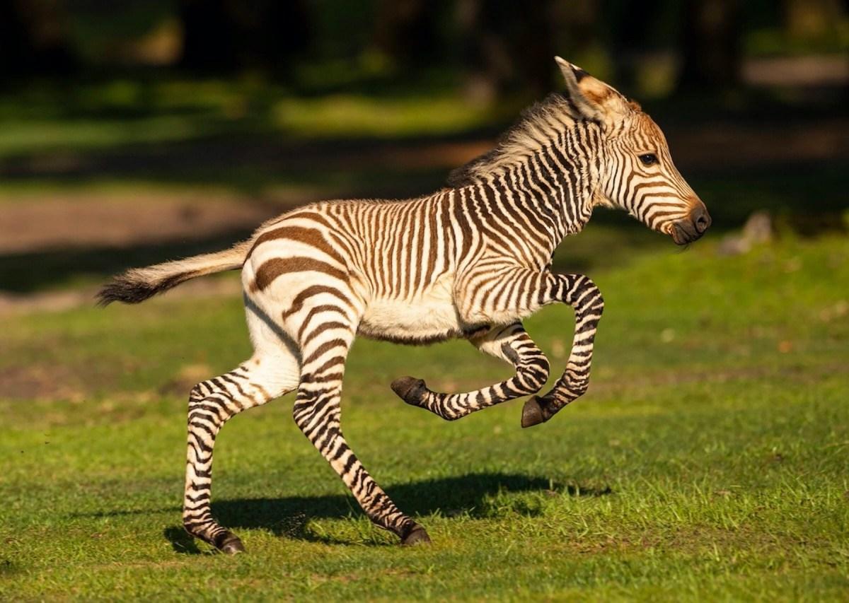 Nace cebra llamada Dash en Animal Kingdom: visitantes presenciaron el nacimiento