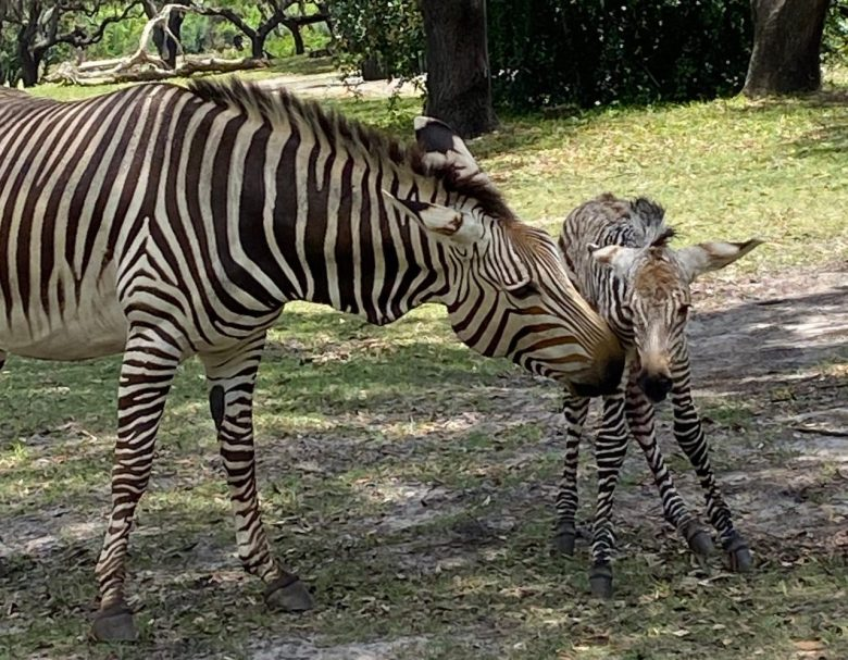 Nace cebra llamada Dash en Animal Kingdom