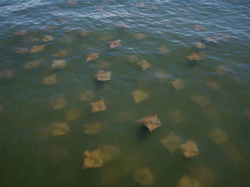 Grupo de mantarrayas visita los mares de Carolina del Sur