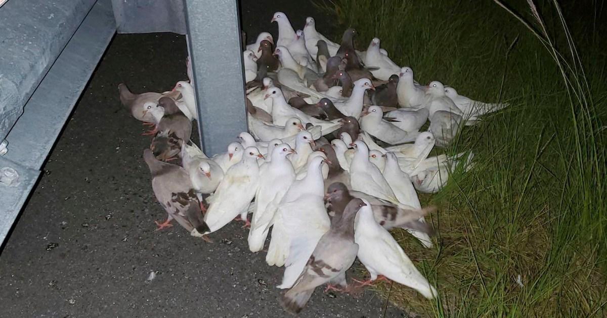 Centenar de palomas se caen de un camión en Florida