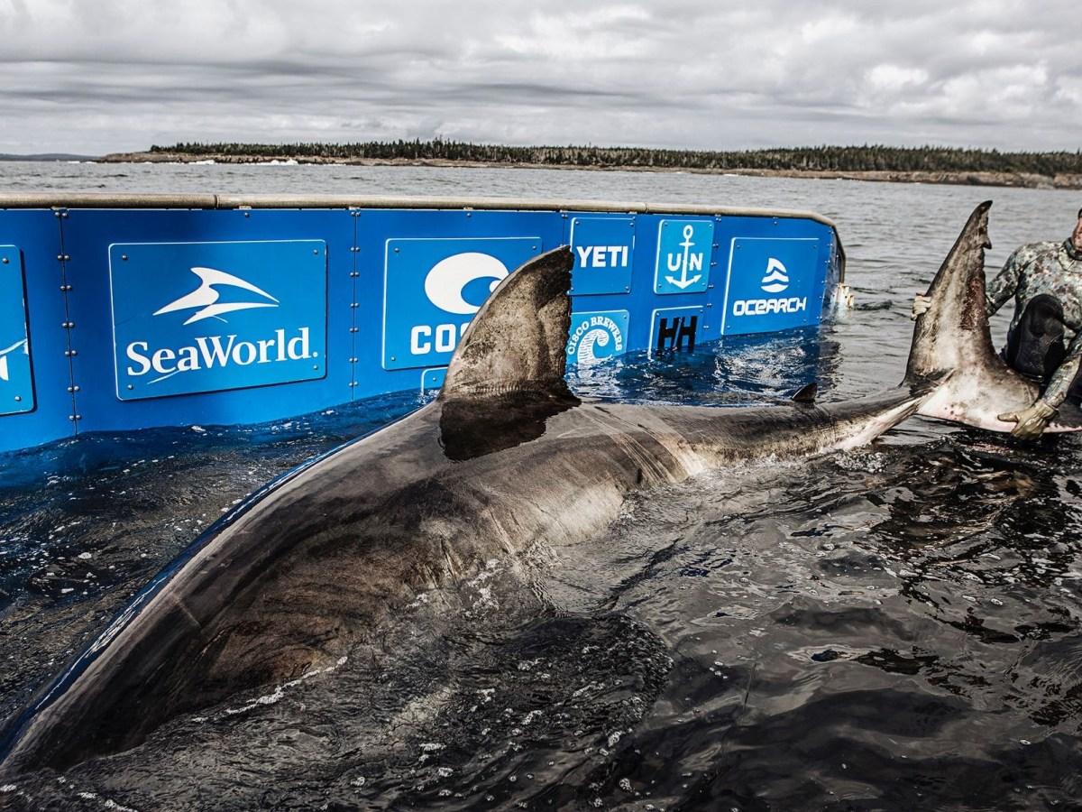 Tiburón blanco Carolina del Norte desaparición