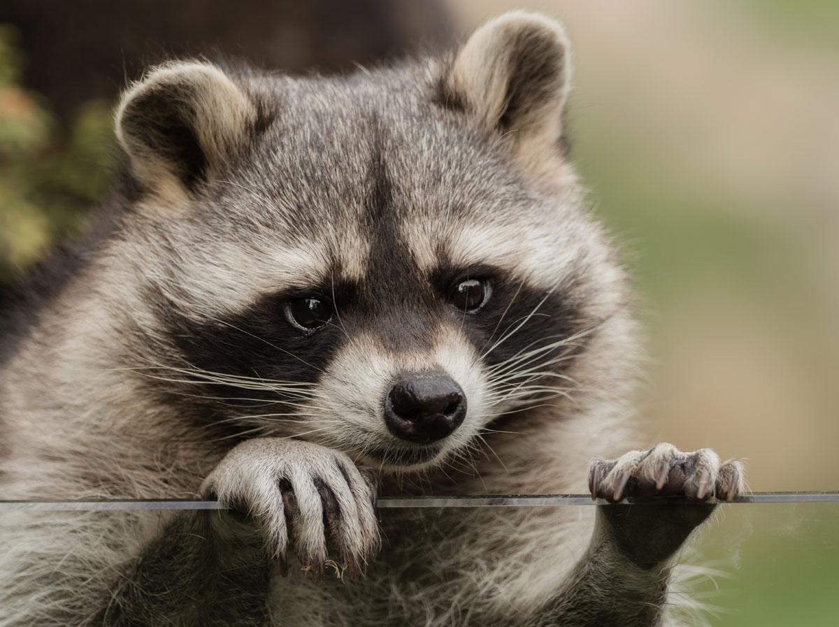 Detectan mapache con rabia en Charlotte