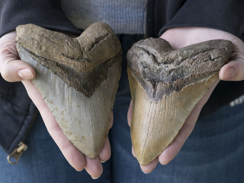 Niño de 5 años encuentra diente de Megalodón, tiburón gigante, en Myrtle Beach
