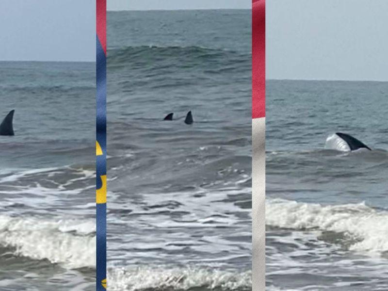 ¡Nade con cuidado! Enormes tiburones merodean playa de Carolina del Norte según autoridades