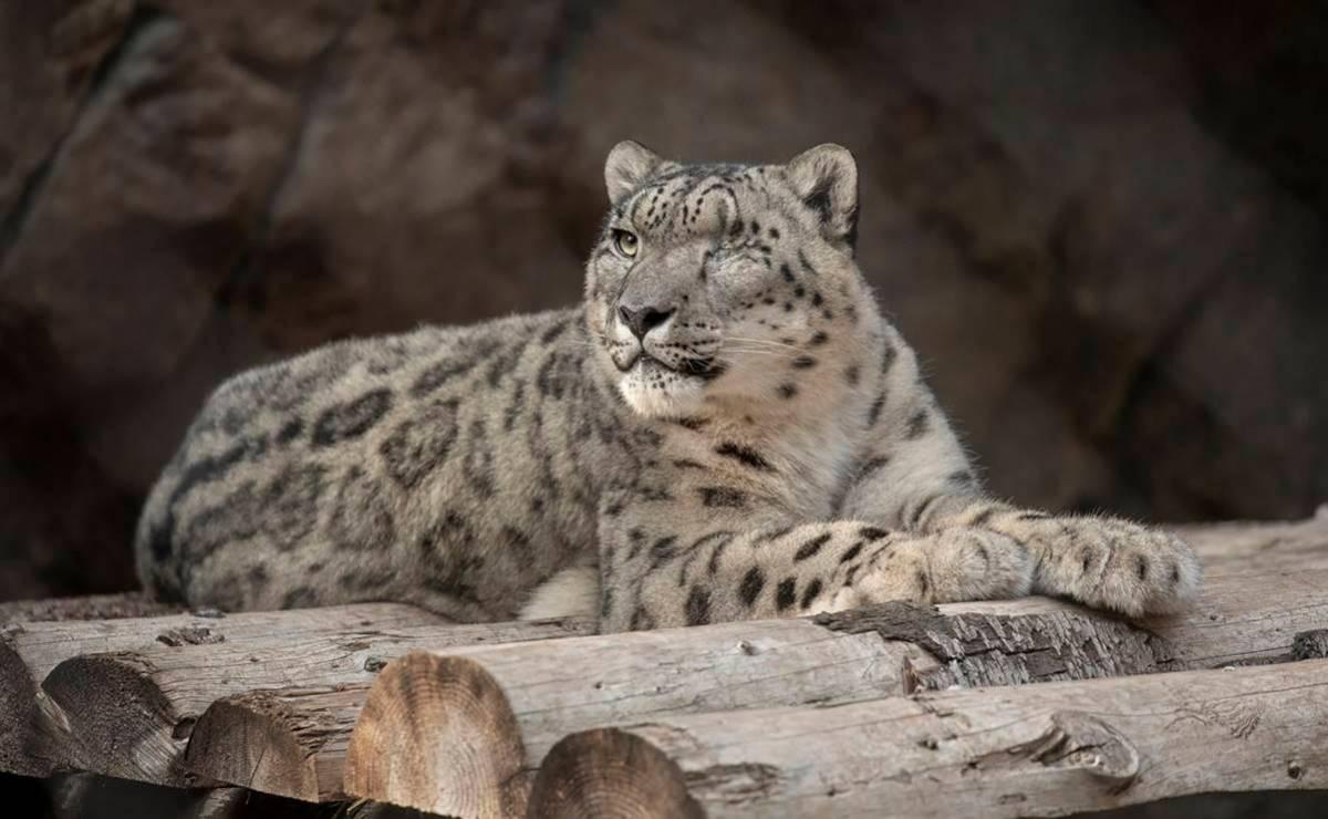 Ramil el leopardo de las nieves