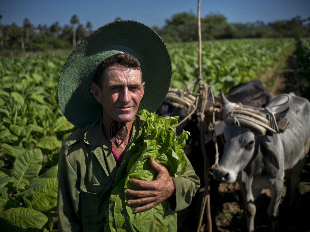 plantaciones tabaco