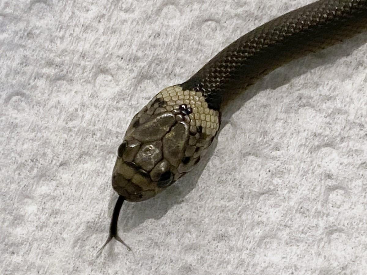 veneno-serpiente-COVID-19