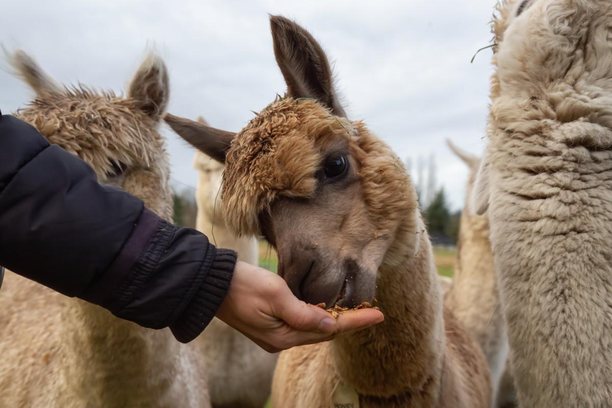 Las mejores granjas de alpacas para disfrutar en Carolina del Norte