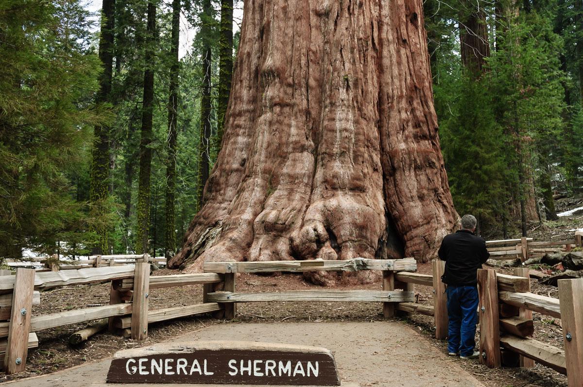 Árbol más grande del mundo en riesgo de incendio: cubren al General Sherman con manta