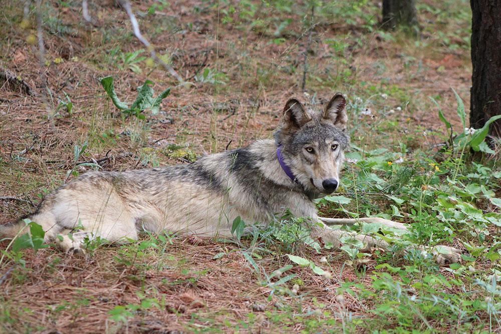 lobo gris california