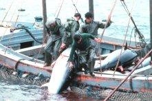 Tuna Fishing Vessel