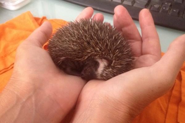 Hoglet asleep in hands