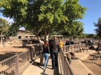 Walking through the pigs