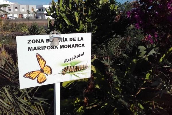 Monarch Butterlies