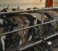 Finca de Uga goats milking_2