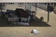 Finca de Uga sheep_2