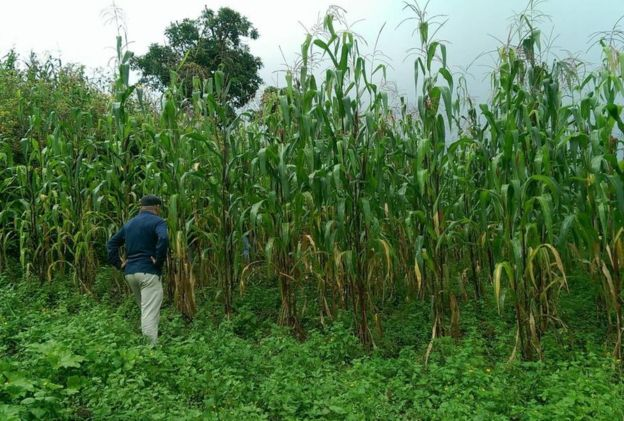 en-mexico-estudian-un-maiz-que-se-fertiliza-a-si-mismo