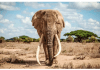 Elefante Tim