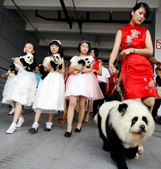 Собаки-панды новая мода в Китае