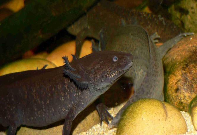 Axolotl Si Monster Air Yang Terancam Punah!!