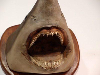 Präparierter Haifisch