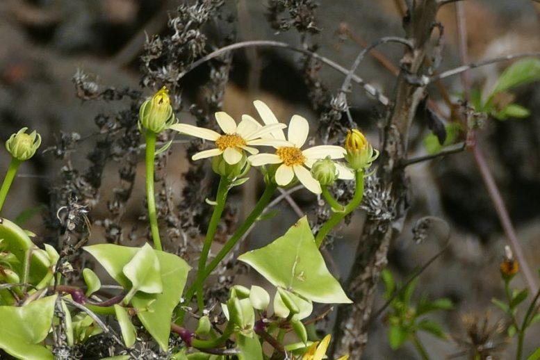 Blüte - Dezember auf La Palma