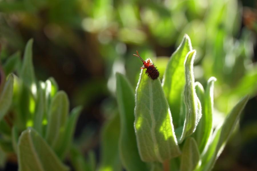 Insecte à Cassis