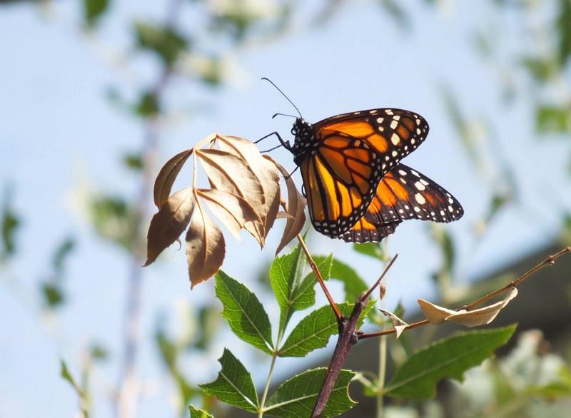 Papillon au Parc eduardo VII