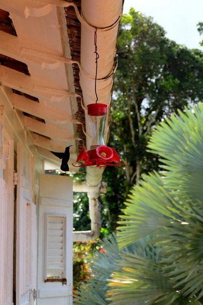 Colibri au Jardin de Balata