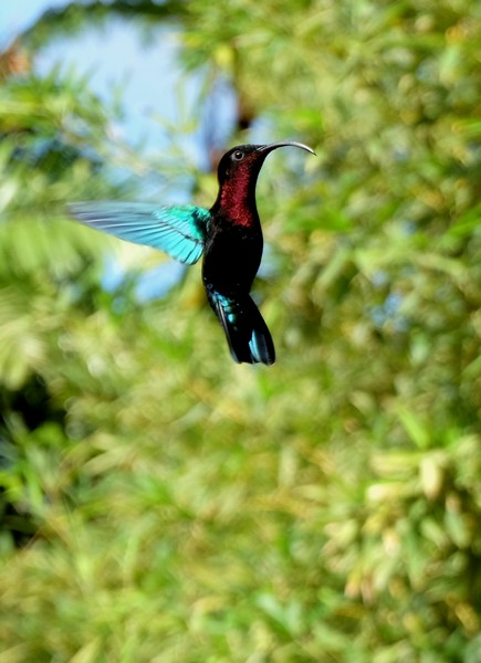 Colibri en Martinique