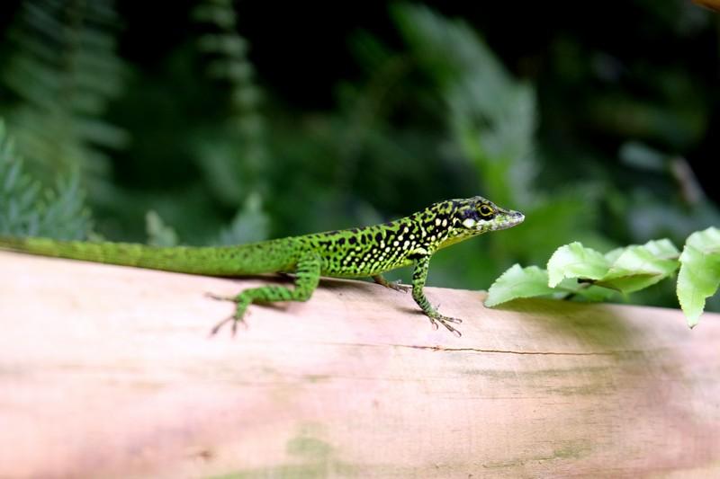 Lézard vert en Martinique
