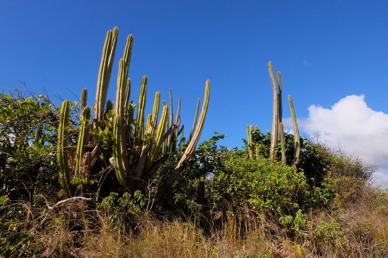 Cactus dans la Savane des pétrifications en Martinique