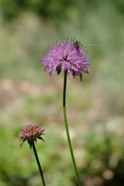 Fleurs et insecte à Sospel