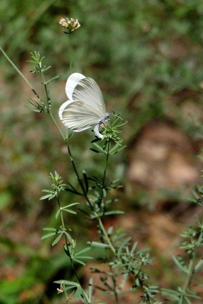 Papillon à Sospel