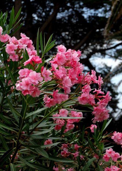 Fleurs sur l'Île Saint-Honorat