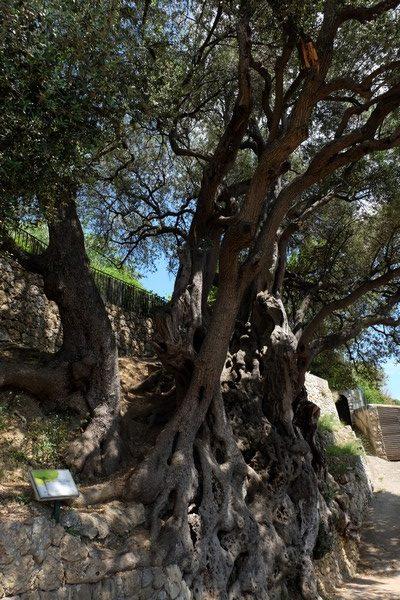 Olivier millénaire du village de Roquebrune-Cap-Martin