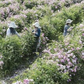 Cœuillette de Rose de Mai à Grasse pour vos flacon