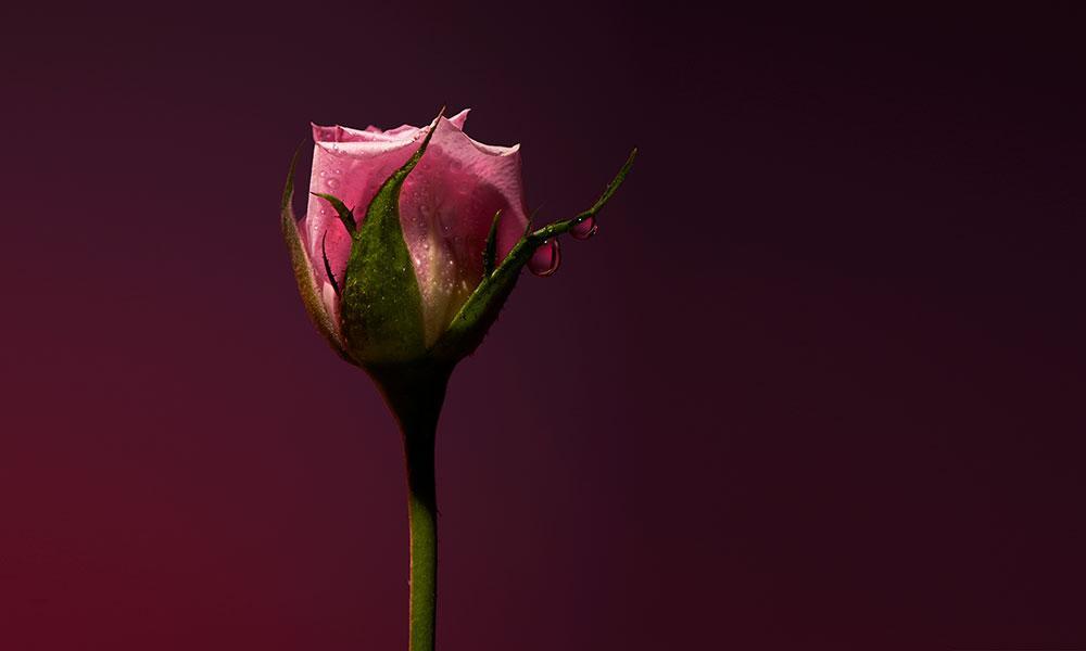 Rose Shot d'Olfactive Studio, cliché de Roberto Greco, compostion de Dominique Ropion