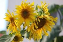 floarea_soarelui_ (5)