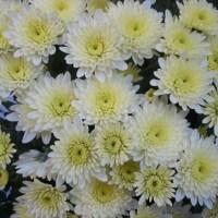 Crizantema, floarea lunii octombrie