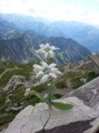 Floare de colt 2