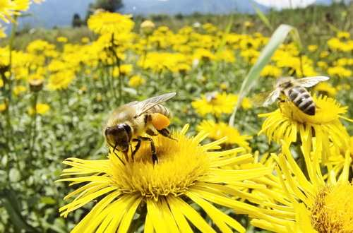 familii-albine-roiuri-albine-500x330