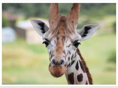 Cliquez pour adopter les girafes de Rothschild !
