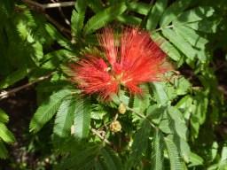 Calliandra tweedii