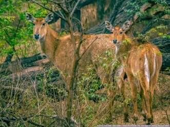 A pair of Deers