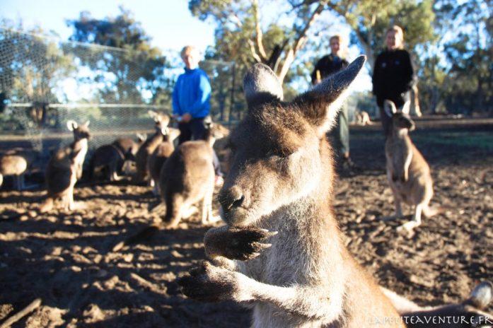 Jeune femelle kangourou