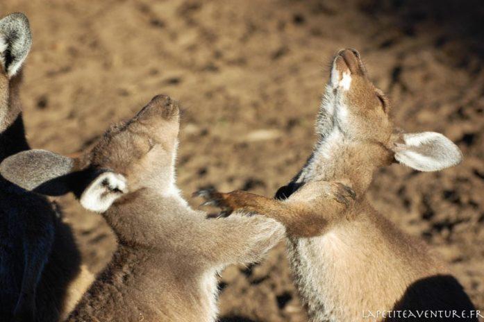 Woofing chez les kangourous