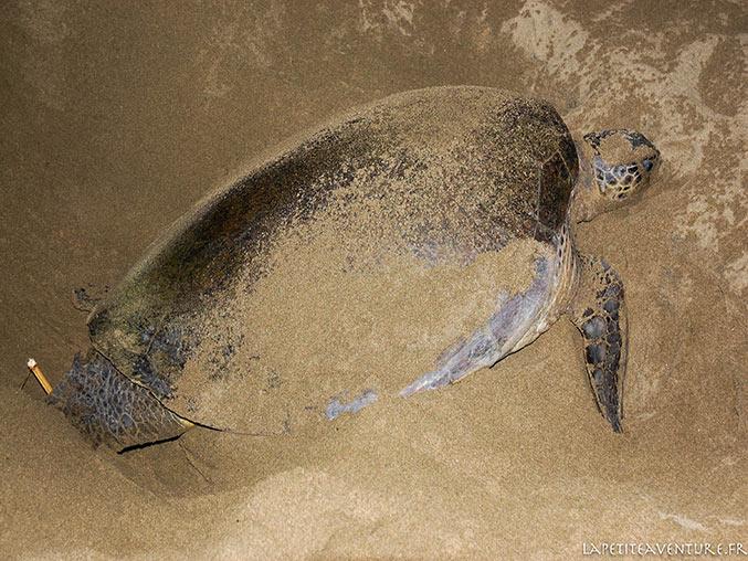 tortue à sukamade