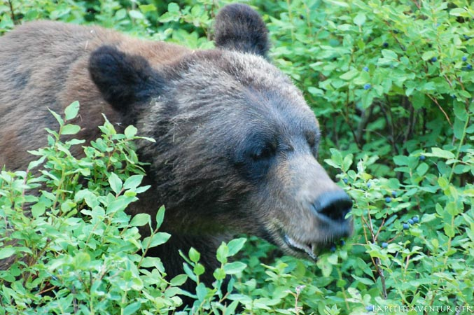 mâle grizzli