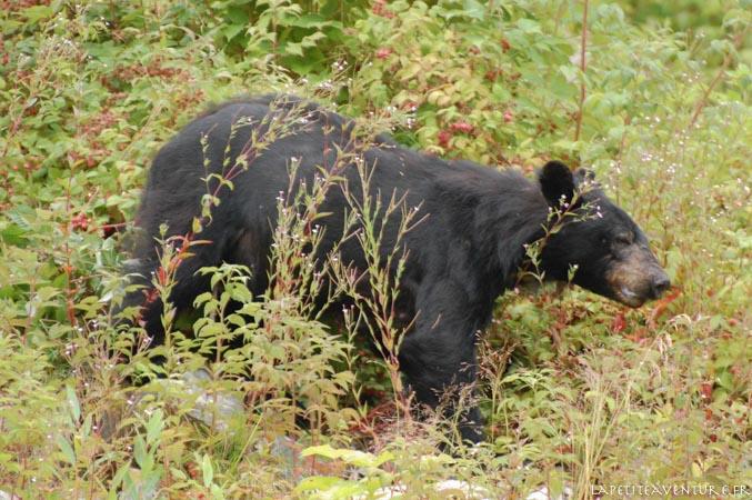 ours brun au canada